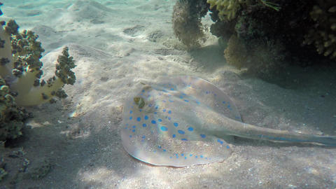 Blue Spotted stingray (Taeniura lymma), 4k Footage