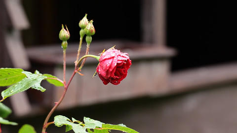 Red Rose on the Branch in the Garden Footage