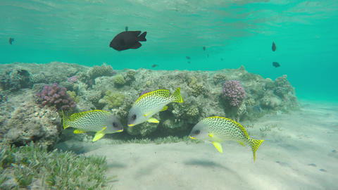 Flock of Blackspotted rubberlip fish on coral reef Footage