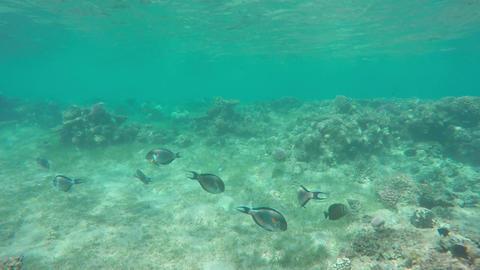 Sohal surgeonfish (Acanthurus sohal) on coral reef Footage