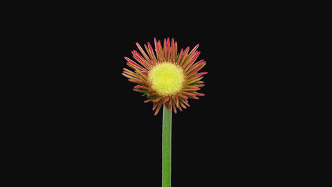 Time-lapse of opening pink gerbera with ALPHA channel Live Action