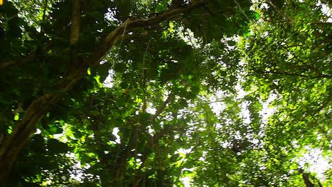 Low angle POV of jungle canopy overhead Footage