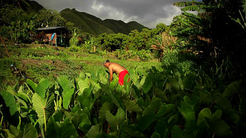 Rising shot of workers in a field on a tropical is Stock Video Footage
