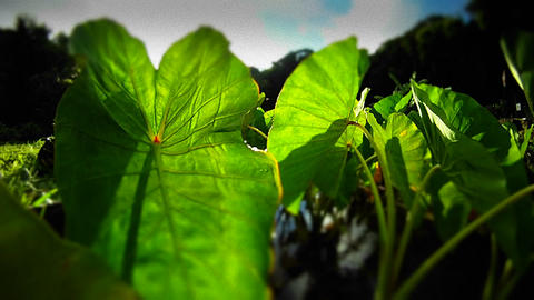 POV shot panning through green plants and leaves Footage