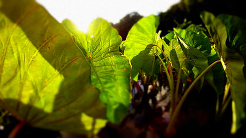 Beautiful POV shot moving back from green leaves a Stock Video Footage
