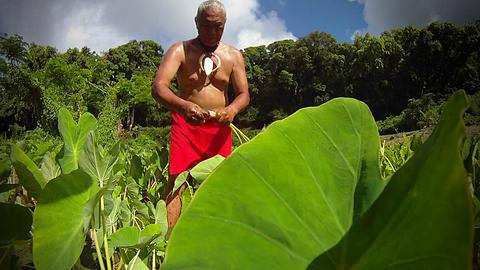 A Hawaiian native prepares tarot root with his han Stock Video Footage
