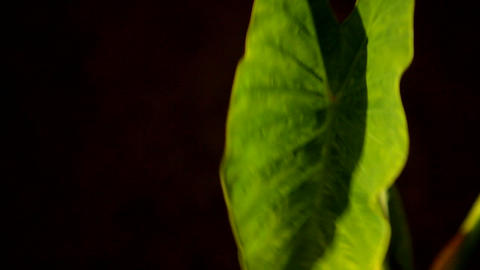 A beautiful green leaf against a black background Stock Video Footage