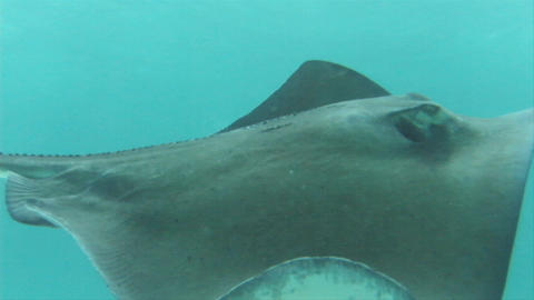 A manta ray is swimming in the ocean Stock Video Footage