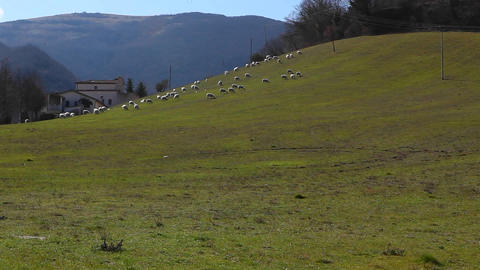 Sheep in a green field Stock Video Footage