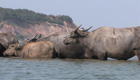 Water buffaloes cross a river Stock Video Footage