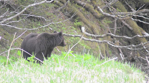 Coastal Brown Bear, Ursus arctos feeding on plants Stock Video Footage