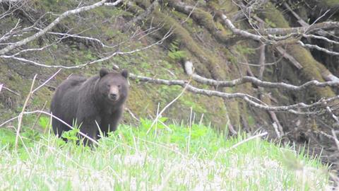Coastal Brown Bear, Ursus arctos feeding on plants Stock Video Footage