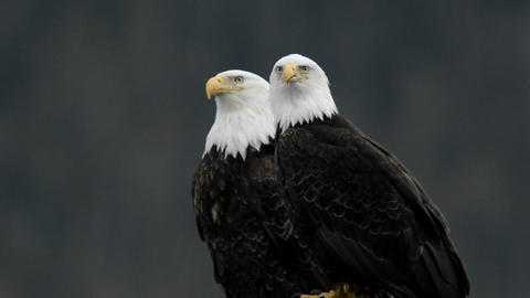 A pair of bald eagles calling while perched on a d Footage