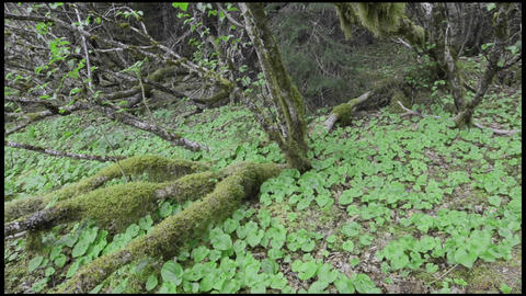 Panning left shot Sitka alder roots and false lily Stock Video Footage