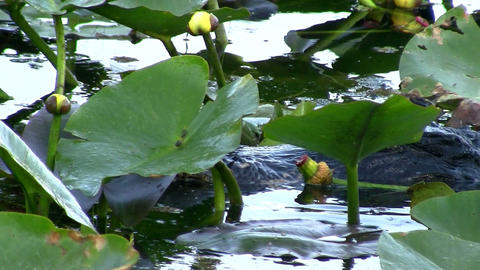 An alligator glides through foliage in the Evergla Stock Video Footage