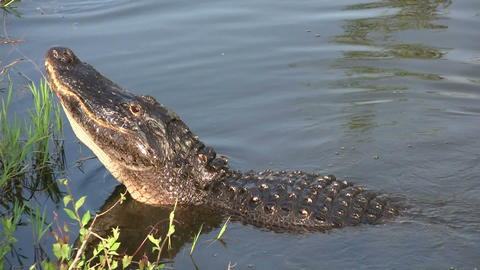 An alligator in the Everglads raises his head Footage