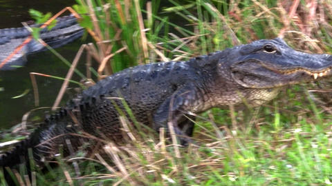 Alligators swimming in a swamp in the Everglades Footage