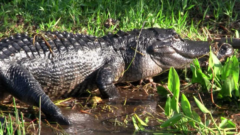 Alligators walking in a swamp in the Everglades Stock Video Footage