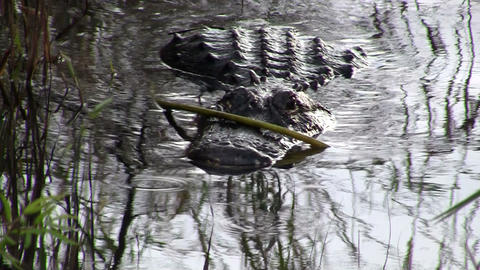 Alligators swims towards the viewer in the Evergla Stock Video Footage