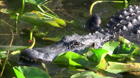 Alligators swims towards the viewer in the Evergla Footage