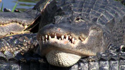 An alligator looks angry and aggressive in the Eve Stock Video Footage