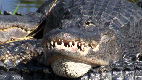 An alligator looks angry and aggressive in the Eve Footage