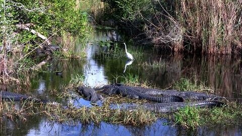 Wide shot of alligators sleeping in a swamp in the Footage