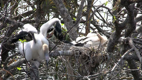 Beautiful white birds nesting in the Everglades Footage