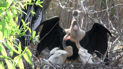 Beautiful black and white birds nesting in the Eve Stock Video Footage