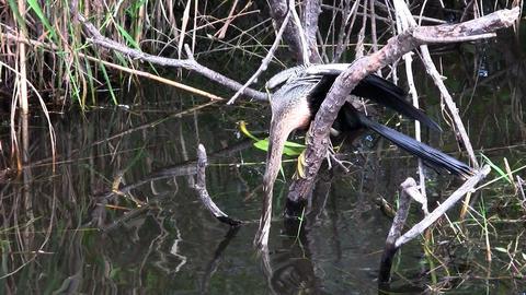 Beautiful black and white cormorant like birds nes Footage