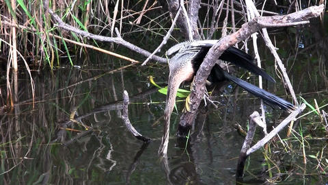 Beautiful black and white cormorant like birds nes Stock Video Footage