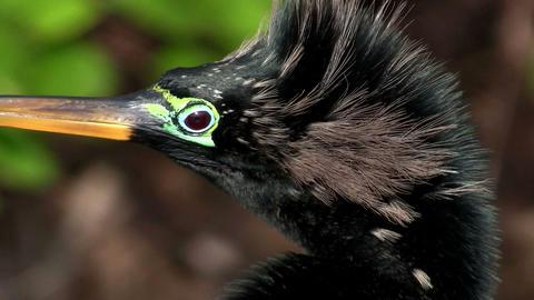 Beautiful black ibis bird in the Everglades Stock Video Footage