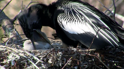 Beautiful black bird guards it chicks in the nest Stock Video Footage