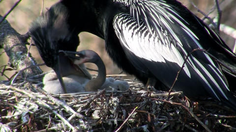 Beautiful black bird guards it chicks in the nest  Footage