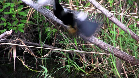 Beautiful black bird guards and feeds it chicks in Stock Video Footage
