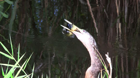 Birds of the mangrove forest pin the Everglades Footage