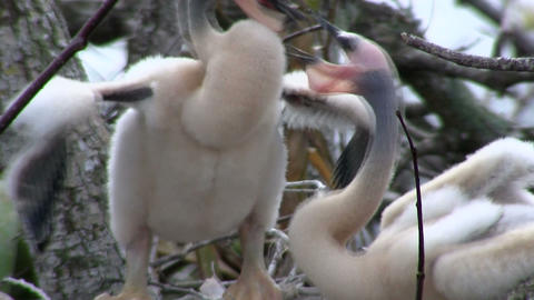 Birds of the mangrove forest pin the Everglades Stock Video Footage