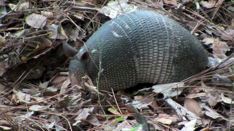 An armadillo scurries across the forest floor Stock Video Footage
