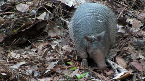 An armadillo scurries across the forest floor Footage