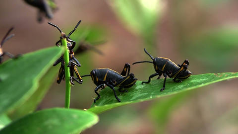 Black insects eat a green leaf Footage
