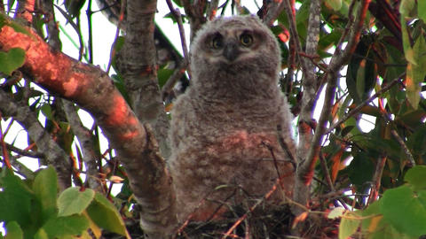 A great horned owl peers from the branches of a tr Live Action