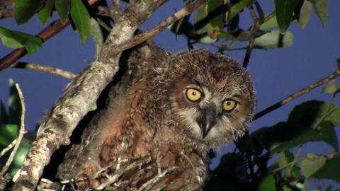 A great horned owl peers from the branches of a tr Footage