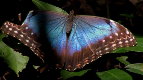 A beautiful blue multicolored butterfly spreads it Stock Video Footage