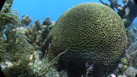 Underwater shot of beautiful green brain coral Footage