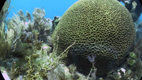 Underwater shot of beautiful green brain coral Stock Video Footage