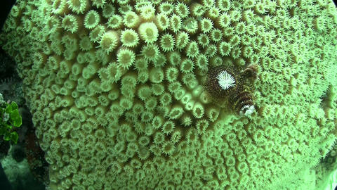 Underwater shot of beautiful green brain coral Footage
