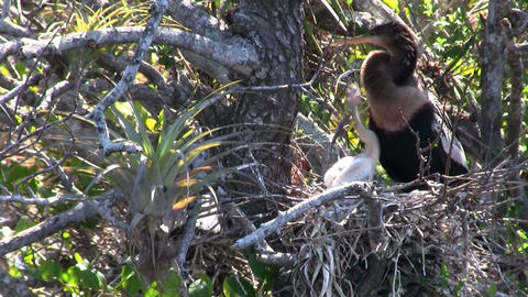 A heron type of bird in its nest in the Everglades Stock Video Footage