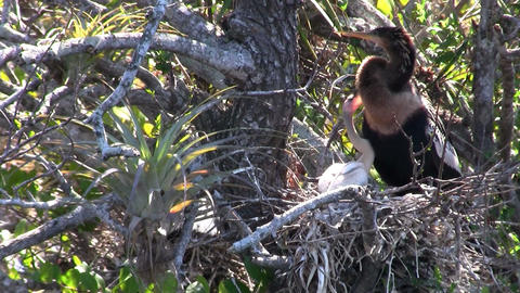 A heron type of bird in its nest in the Everglades Footage