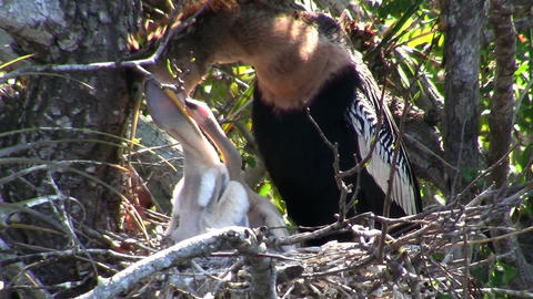 A heron type bird regurgitates a meal for its youn Stock Video Footage