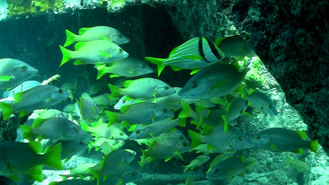 Numerous tropical silver fish swim around a coral  Footage